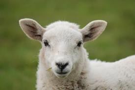 Sheep Know Their Shepherd!